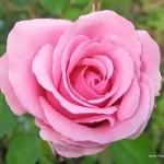 pink-rose-1280x1024