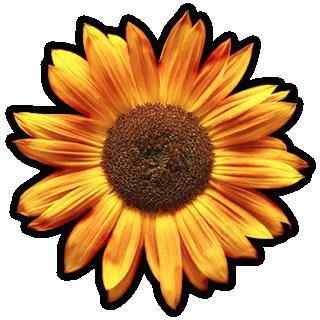 photo_sunflower