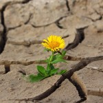 Sunflower in desert crack ground